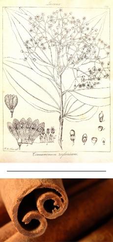 Cinnamomum verum/zeylanicum
