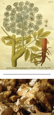 Angelica archangelica/Archangelica officinalis