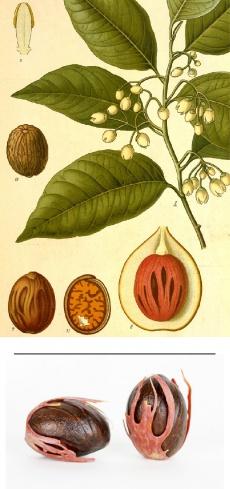 Myristica fragrans