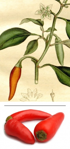 Capsicum sp. (var. species)