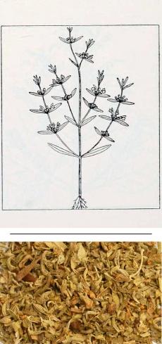 Satureja hortensis