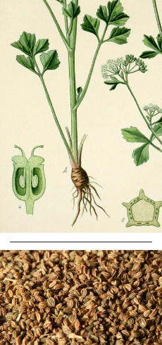Apium graveolens dulce