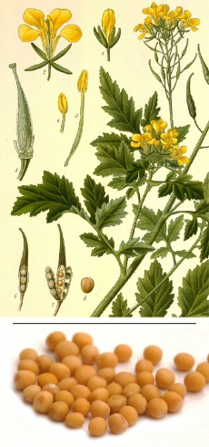Brassica nigra/juncea, Sinapsis/B. hirta