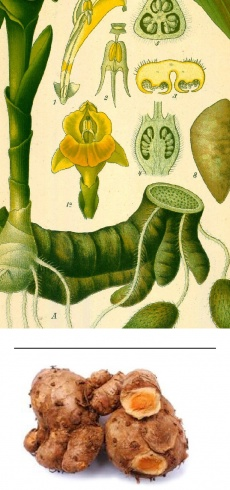 Curcuma zedoaria