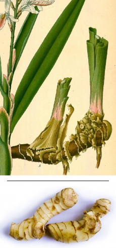 Alpinia galanga/officinarum