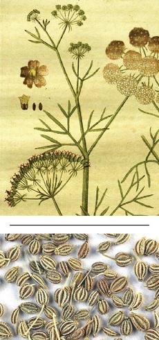 Trachyspermum copticum