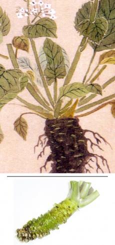 Wasabia japonica