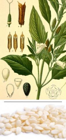 Sesamum indicum